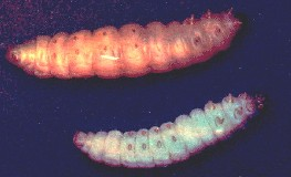 Galleria mellonella larvae healthy or with patent iridovirus (iridescent virus) infection folowing bioassay.